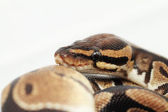 Ball Python close up Royalty Free Stock Image