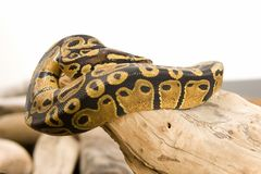 Ball Python, Coiled Royalty Free Stock Photography