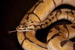 Ball Python detail. Ball Python - Python regius, isolated on a black background Royalty Free Stock Images