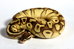 Ball python. Found in Africa. This is the smallest of the Africa python and is popular in the pet trade Royalty Free Stock Photo