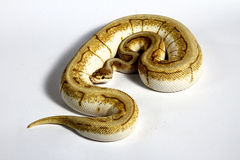 Ball python Royalty Free Stock Photography