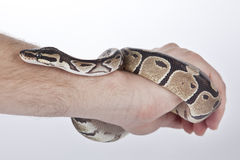 Ball Python on hand with white background Royalty Free Stock Image