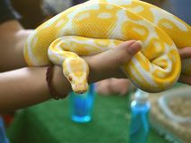 Ball Python In Hands royalty free stock photos