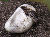 Ball python hatching. A ball python snake hatching out of an egg Stock Photos