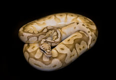 Ball Python isolated on black. Ball Python - Python regius, isolated on a black background Stock Photos
