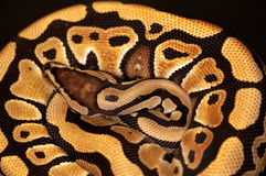 Ball Python isolated on black. Ball Python - Python regius, isolated on a black background Royalty Free Stock Image