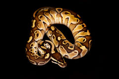 Ball Python isolated on black. Ball Python - Python regius, isolated on a black background Royalty Free Stock Photos