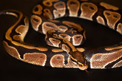 Ball Python isolated on black. Ball Python - Python regius, isolated on a black background Stock Photo