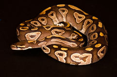 Ball python isolated. Ball Python - Python regius, isolated on a black background Stock Photos