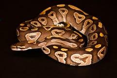 Ball python isolated Stock Photos