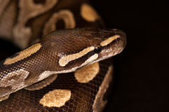 Ball python isolated. Ball Python - Python regius, isolated on a black background Royalty Free Stock Photo