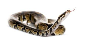 Ball python Royalty Free Stock Photos