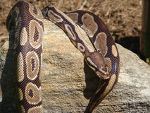 Ball python lying on rock Royalty Free Stock Image