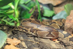Ball python Royalty Free Stock Image