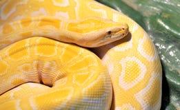Ball python ( molurus bivittatus ). Vivid yellow Ball python ( molurus bivittatus royalty free stock photos