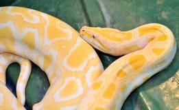 Ball python ( molurus bivittatus ). Vivid yellow Ball python ( molurus bivittatus stock images