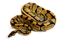 Ball python. The name ball python refers to the animal's tendency to curl into a ball when stressed or frightened Royalty Free Stock Photos