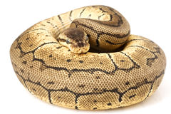 Ball Python (Python regius) Royalty Free Stock Photography
