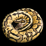 Ball Python -Python regius Royalty Free Stock Image