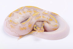 Ball python,Python regius. The Ball python,Python regius,is one of the most popular pet snakes and is being bred in a huge variety of colors Royalty Free Stock Photos