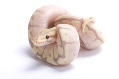 Ball python,Python regius. The Ball python,Python regius,is one of the most popular pet snakes and is being bred in a huge variety of colors Royalty Free Stock Photography