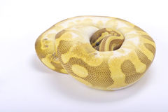 Ball python,Python regius. The Ball python,Python regius,is one of the most popular pet snakes and is being bred in a huge variety of colors Stock Image