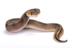 Ball python,Python regius. The Ball python,Python regius,is one of the most popular pet snakes and is being bred in a huge variety of colors Stock Images