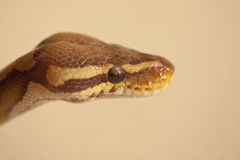 Ball Python. Python regius is a nonvenomous python species found in Africa. This is the smallest of the African pythons and is popular in the pet trade, largely Stock Photos