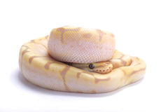 Ball python,Python regius. The Ball python,Python regius,is one of the most popular pet snakes and is being bred in a huge variety of colors Royalty Free Stock Image