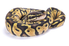 Ball python,Python regius. The Ball python,Python regius,is one of the most popular pet snakes and is being bred in a huge variety of colors Stock Photography