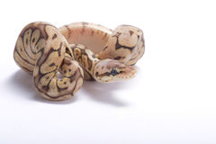 Ball python,Python regius. The Ball python,Python regius,is one of the most popular pet snakes and is being bred in a huge variety of colors Stock Photos