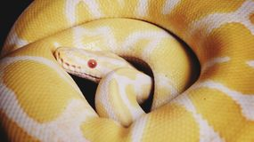 Ball python snake Stock Images