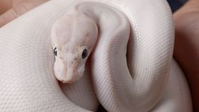 Ball python snake Royalty Free Stock Image