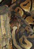 Ball python snake Royalty Free Stock Photo