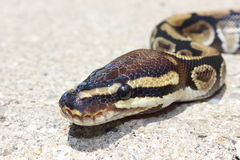 Ball python snake Stock Photo