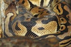 Ball python snake skin Royalty Free Stock Photo