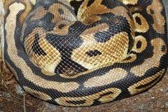 Ball python snake skin Royalty Free Stock Photos