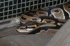 Ball python snake Stock Images