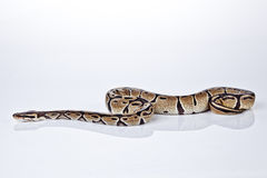 Ball Python with white background Stock Image