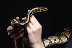 Ball python in woman hands royalty free stock images