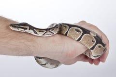Ball-Pythonschlange an Hand mit weißem Hintergrund Lizenzfreies Stockbild