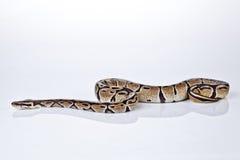 Ball-Pythonschlange mit weißem Hintergrund Stockbild
