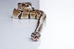 Ball-Pythonschlange mit weißem Hintergrund Lizenzfreie Stockbilder