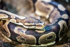 Ball-Pythonschlange, Pythonschlange königlich stockbilder