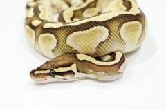 Ball-Pythonschlangen-Butterschlange auf dem Hals Lizenzfreies Stockbild