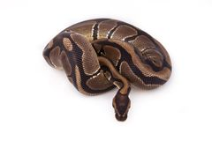 Ball or Royal python Stock Image