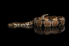 Ball or Royal python Snake on Isolated black background Stock Images