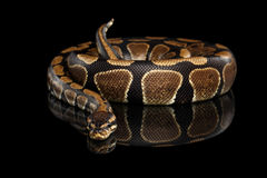Ball or Royal python Snake on Isolated black background. With reflection stock images