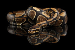 Ball or Royal python Snake on Isolated black background stock photography