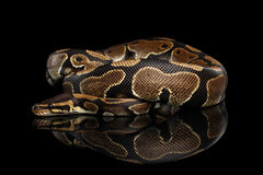 Ball or Royal python Snake on Isolated black background. With reflection stock photos